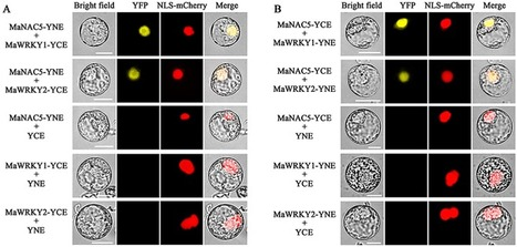Banana fruit NAC transcription factor MaNAC5 cooperates with MaWRKYs to enhance the expression of pathogenesis-related genes against Colletotrichum musae - Molecular Plant Pathology - | Plant-Microbe Interaction | Scoop.it