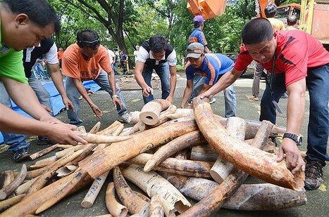 Elephant tusks illegally poached | Chris' Regional Geography | Scoop.it