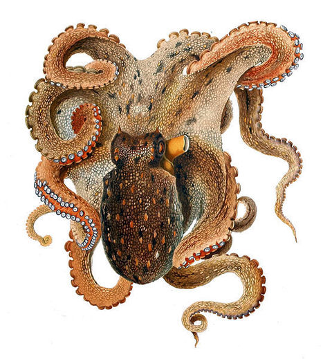 The Octopus and Bioinspiration | Biomimicry | Scoop.it