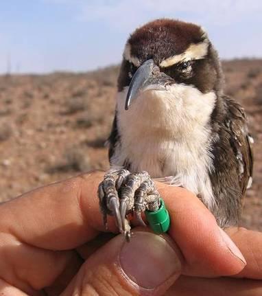 Le pomatostome, cet oiseau qui parle (un peu) | Les sons de la nature | Scoop.it