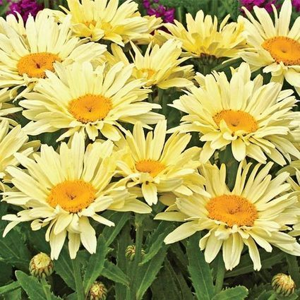 Banana Cream Shasta Daisy | Springhill Nursery | Scoop.it