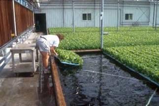 La hidroponía rinde alimentos orgánicos con un mayor rendimiento ... | Cultivos Hidropónicos | Scoop.it