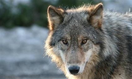 Pétition : Non à l'abattage des Loups en France ! | 16s3d: Bestioles, opinions & pétitions | Scoop.it