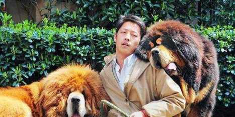 A Chinese Property Developer Just Paid Nearly $2 Million For This Puppy | Xposed | Scoop.it