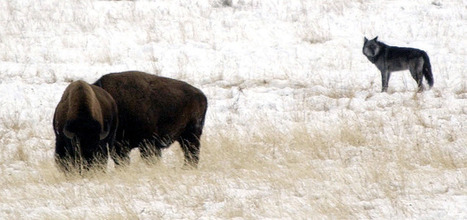 Larger wolf packs are less successful in hunting elk - Salt Lake Tribune | Hunting | Scoop.it
