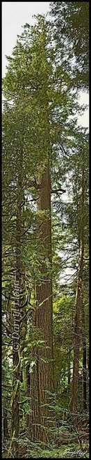 Doerner Fir rises 327 feet into the Coos County heavens | Native Trees of Oregon | Scoop.it