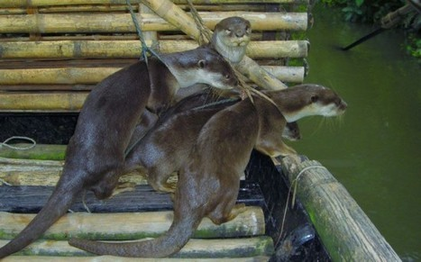 Fishing with Otters in Bangladesh – A Dying Tradition | Strange days indeed... | Scoop.it