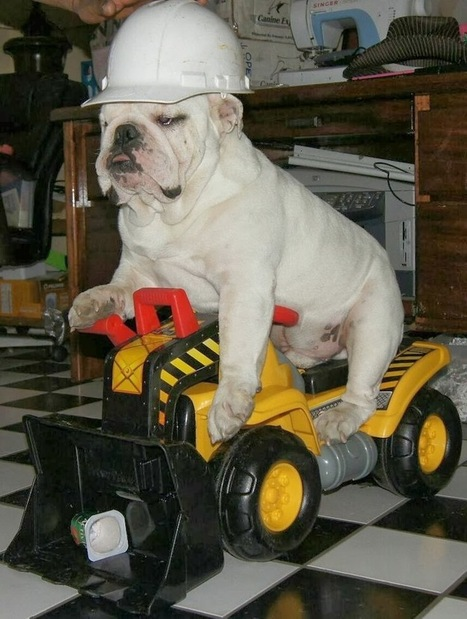 Funny Pictures Of Dogs: English Bulldog Can Drive Car | Funny Animal Pictures | Scoop.it