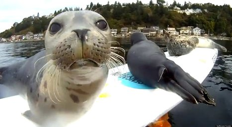WATCH: Seal Pups Slip And Slide On Surfboard   Funny, Fail, Incredible Pictures - Videos & Jokes   Scoop.it