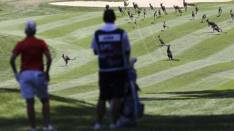 Kangaroos interrupt play on LPGA   Golf News Today   Scoop.it