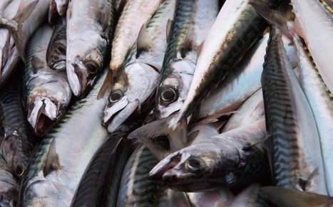 Why mackerel has been taken off the ethical 'fish to eat' list  - Telegraph | The natural world | Scoop.it