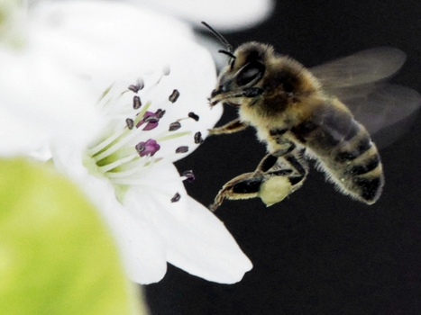 Bee Deaths May Have Reached A Crisis Point For Crops : NPR | Great Content Posts | Scoop.it