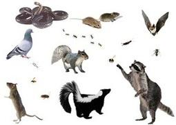 West palm Beach, Florida wildlife control services for residence | Pest control West Palm Beach Florida | Scoop.it
