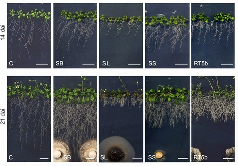 In Vitro  Morphogenesis of  Arabidopsis  to Search for Novel Endophytic Fungi Modulating Plant Growth | Plant-Microbe Interaction | Scoop.it