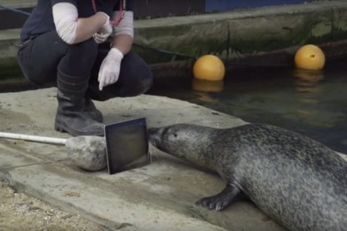 Seal FaceTime: Seals reunite via video chat after being separated for forbidden romance - ABC News (Australian Broadcasting Corporation) | Progressive, Innovative Approaches to Education | Scoop.it