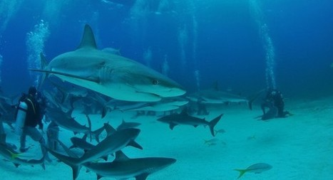 Research reveals that Caribbean reef sharks can tell if a human is facing ... - Science Recorder | Amocean OceanScoops | Scoop.it