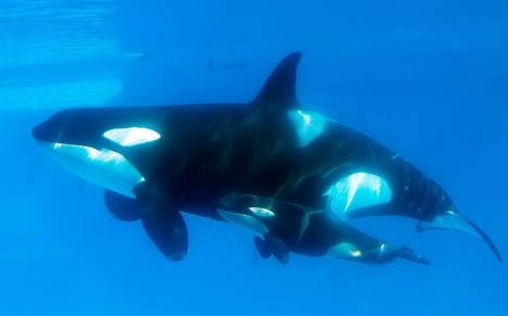 Richard Branson criticised for selling #SeaWorld trips - Telegraph.co.uk | Now is the Time to Help our Oceans & it's Species ! | Scoop.it
