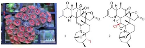 Zoanthamine-Type Alkaloids from the Zoanthid Zoanthus kuroshio Collected in Taiwan and Their Effects on Inflammation | Natural Products Chemistry Breaking News | Scoop.it