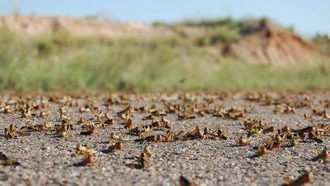 Les criquets menacent Madagascar d'une crise alimentaire | Ny Rado Rafalimanana - Madagascar | Scoop.it