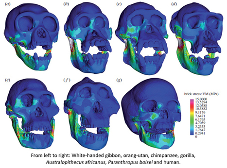 Who are you calling weak? Human jaws are surprisingly strong and efficient : Not Exactly Rocket Science | Computational Biomechanics in Palaeontology | Scoop.it
