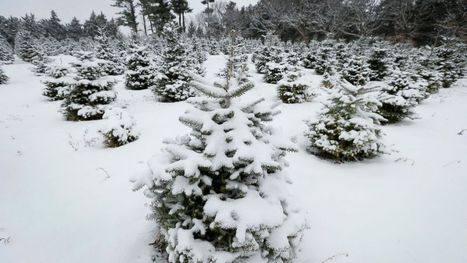 Growers Grateful for Higher Christmas Tree Prices | Christmas Trees and More | Scoop.it
