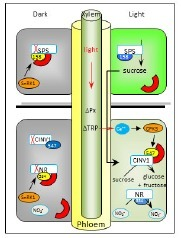 Light modulated activity of root alkaline/neutral invertase involves the interaction with 14-3-3 proteins | Molecular Biology and Life Science | Scoop.it