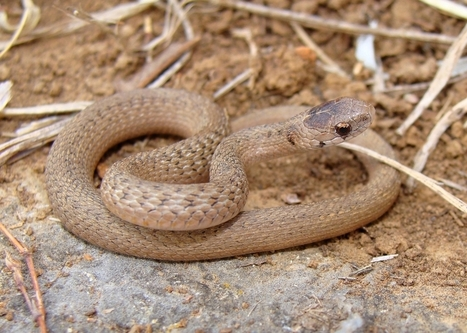 Facts About Brown Snakes   Oceans and Wildlife   Scoop.it