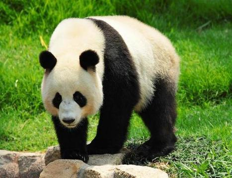 Giant Panda: The National Animal of China   ProBloggerTricks   Scoop.it