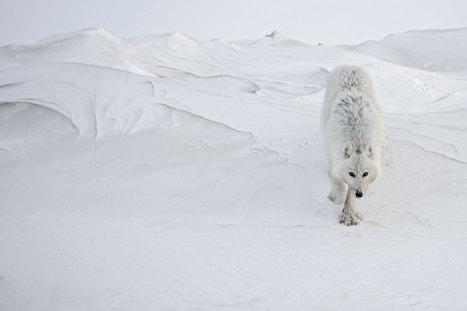 Sur la piste d'un animal mythique. Le loup blanc, cet inconnu | Documentary photography | Scoop.it