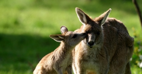 Stop the slaughter of kangaroos in ACT! | Introduce new course in schools called COMPASSION | Scoop.it