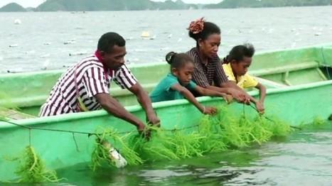Seaweed bringing hope to remote villages in West Papua - SBS   PAPUA MERDEKA ATAS DASAR KEADILAN   Scoop.it