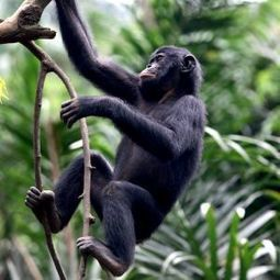 End the Congo logging chaos for rainforest, people and bonobos! | Wildlife and Environmental Conservation | Scoop.it