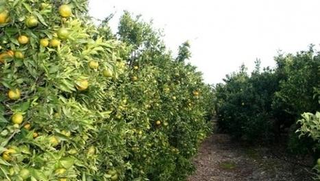 Mascara : une production de 380.000 qx d'agrumes prévue cette saison - Algérie Presse Service | Fruits & légumes à l'international | Scoop.it