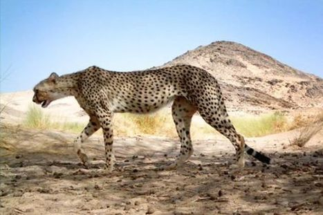 See the Stunning—and Elusive—Saharan Cheetah - TakePart   My Funny Africa.. is this the lions last roar?   Scoop.it
