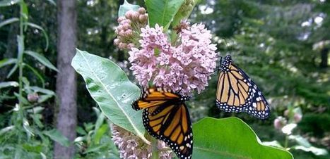UA Scientists Play Crucial Role in Saving America's Most Iconic Butterfly | UANews | CALS in the News | Scoop.it