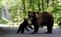 Romania bans trophy hunting of brown bears, wolves, lynx and wild cats | De Natura Rerum | Scoop.it