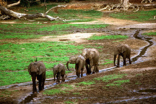 Preventing an Elephant Eden from Becoming Paradise Lost | Wildlife Trafficking: Who Does it? Allows it? | Scoop.it