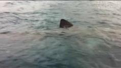 Requins : en Corse, les espèces les plus répandues sont inoffensives - Francetv info | Requins en Péril | Scoop.it