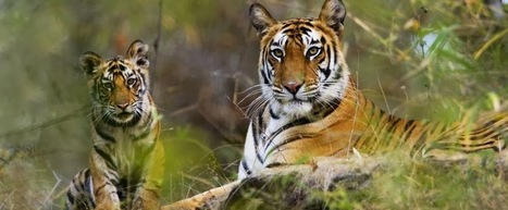 Holiday Destination and Packages: Enjoy the wild life in Kanha while you stay at a safari resort. | Holiday Resort Packages | Honeymoon Destination India | Scoop.it