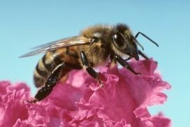 Pesticides used to help bees may actually harm them - Virginia Tech (2016)  | Ag Biotech News | Scoop.it