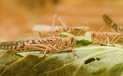 Locust plagues point to grim future of climate change | climate science | Scoop.it