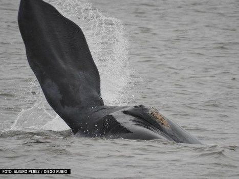 Ballenas francas en la playa Mansa de Punta del Este   Prensa Ambiental VSUy   Scoop.it