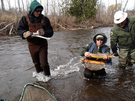 Showcasing the Michigan DNR: Boardman River dam-removal ... | Fish Habitat | Scoop.it
