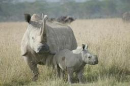 Poachers in Hluhluwe push rhino death toll to 75 | What's Happening to Africa's Rhino? | Scoop.it