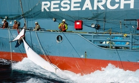 Is whaling the biggest threat to whales? | GarryRogers NatCon News | Scoop.it