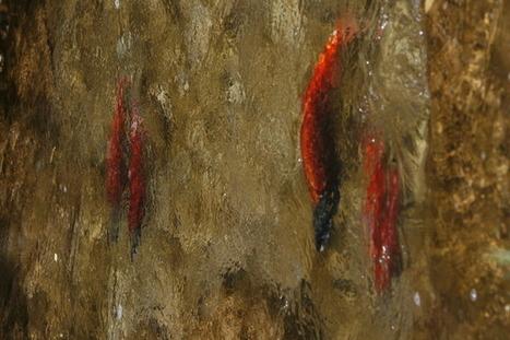 Salmon on the run in Utah - Go see spawning kokanee at Strawberry Reservoir - Salt Lake Tribune (blog) | Fish Habitat | Scoop.it