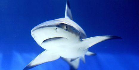 La Nouvelle-Calédonie interdit à son tour la pêche aux requins   requins   Scoop.it