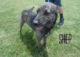Petfinder  Adoptable | Dog | Shepherd | Steubenville, OH | SHEP | Nature wildlife and animal welfare and rights | Scoop.it