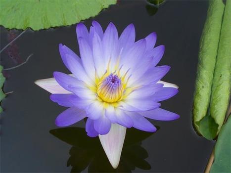 Sri Lanka national flower threatened by hybrid species | AnnBot | Scoop.it