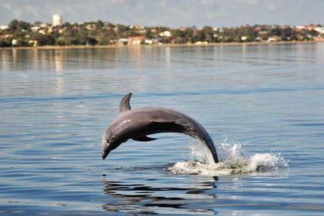 Oversexed male dolphins cruise long distances along South West WA coast, study ... - ABC Online | Australian Tourism Export Council | Scoop.it